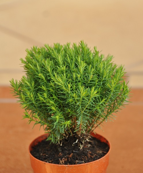 Thuja occidentalis Teddy