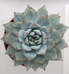 Echeveria 'Blue Bird' - nagy