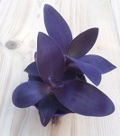 Tradescantia purple heart